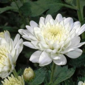 chrysanthème fleur de deuil